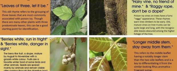 poison ivy identification guide choice image   diagram